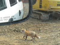 Fox at stream restoration project